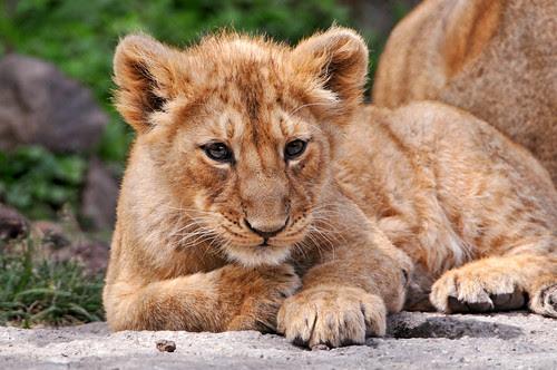 フリー画像動物写真哺乳類ライオンフリー素材画像素材なら無料