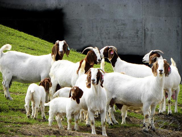 DSCN3433 Zim's goat Friends