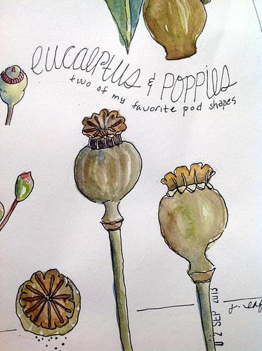 eucalyptus and pods