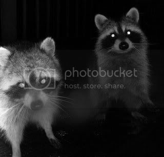 raccoons! Pictures, Images and Photos