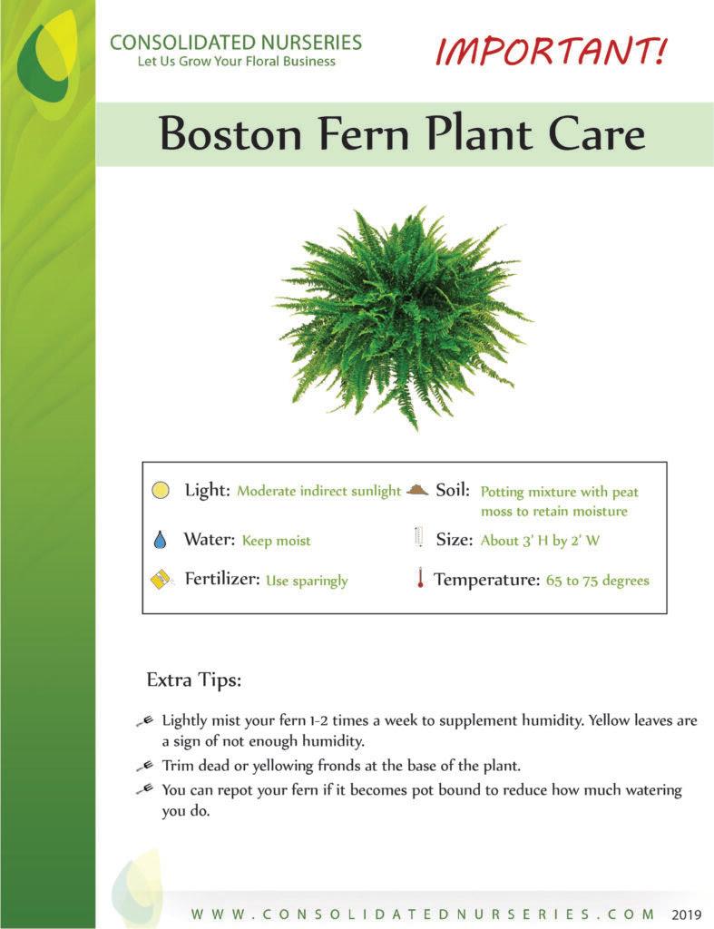 How To Repot Boston Ferns - brodeusse-bressane blogspot com