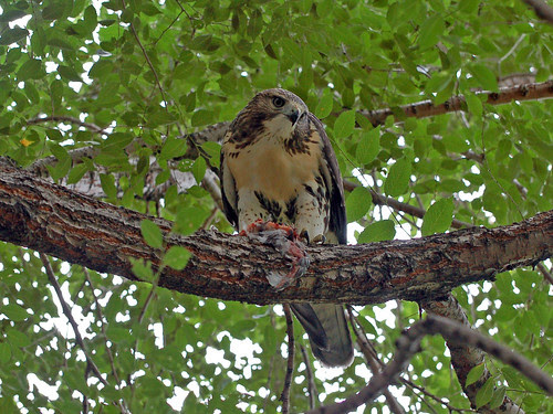 "Red-Tail Fledgling ""Dines"""