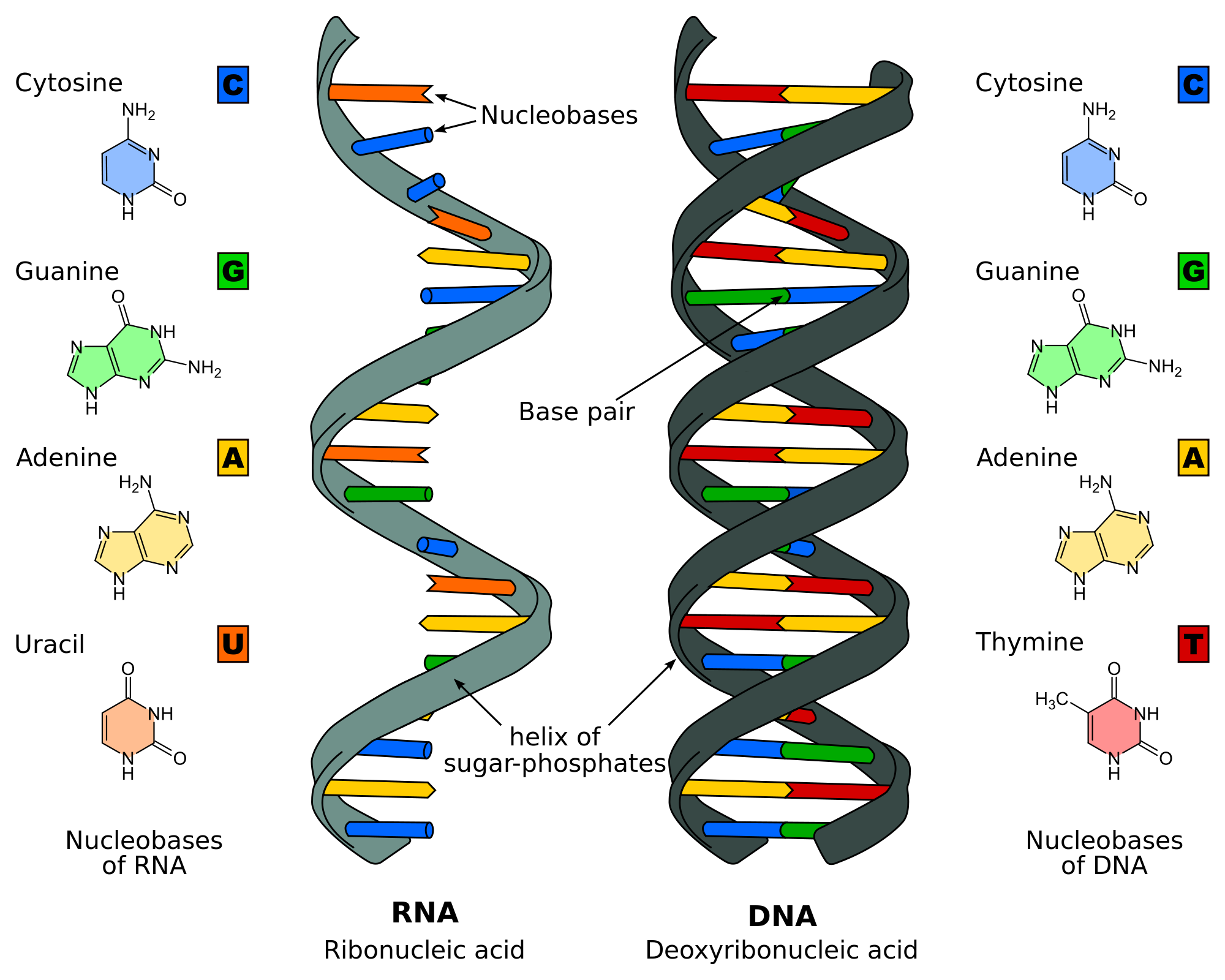 DNA Replication - Structure - Stages of Replication ...
