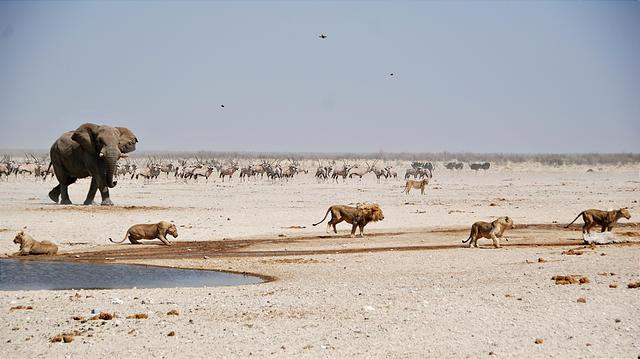 Namibia - Etosha National Park - Ozonjuitji m'Bari Waterhole - Lion - Fleeing - Elephant