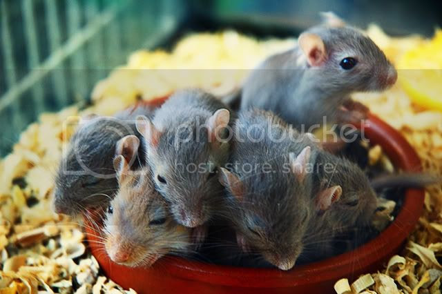 Rats at Exotic Animals Stall in Las Ramblas, Barcelona [enlarge]