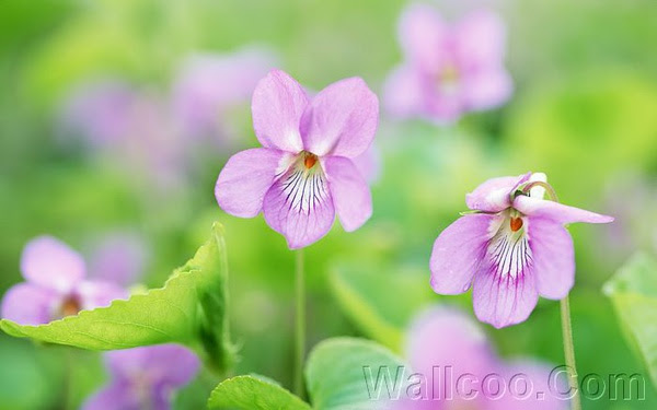 Soft_focus_sweet_flowers_JK096_350A.jpg