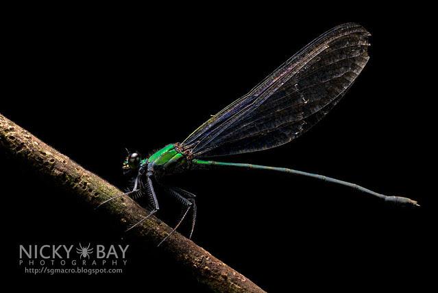 Common Flashwing (Vestalis amethystina) - DSC_0329