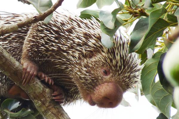 Close view of the new porcupine species, the Baturite porcupine: Coendou baturitensis. Photo by: Hugo Fernandes-Ferreira.