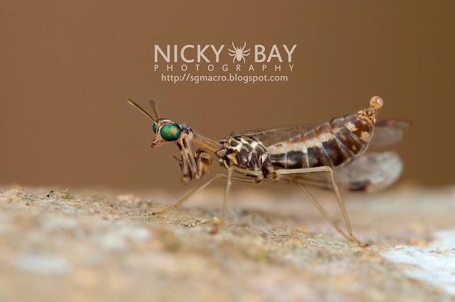 Mantidfly (Mantispidae) - DSC_4190