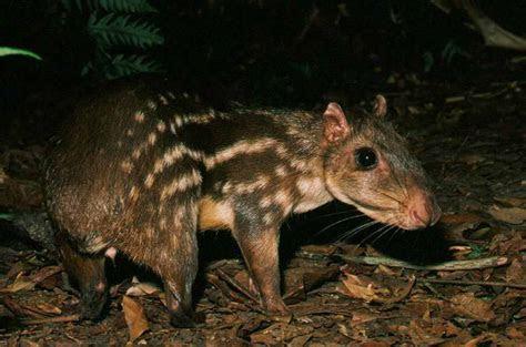 Cuniculus sp.   Paca sp.   Favorite Creatures   Pinterest