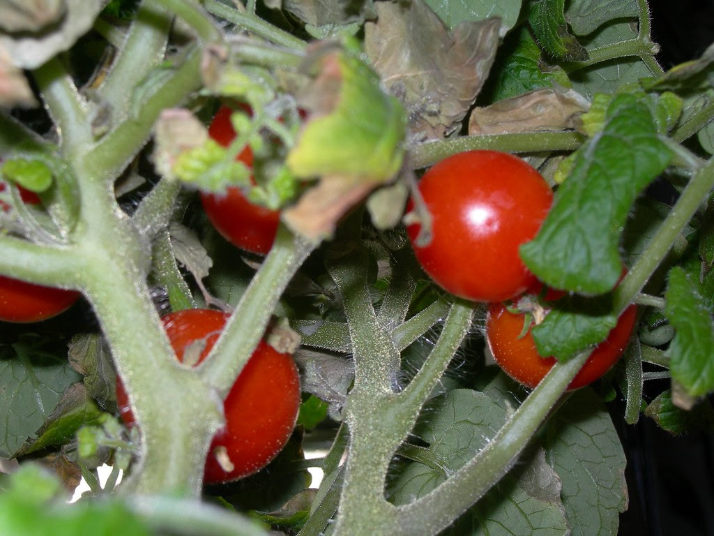 2007-07-31 Tomatoes (4)