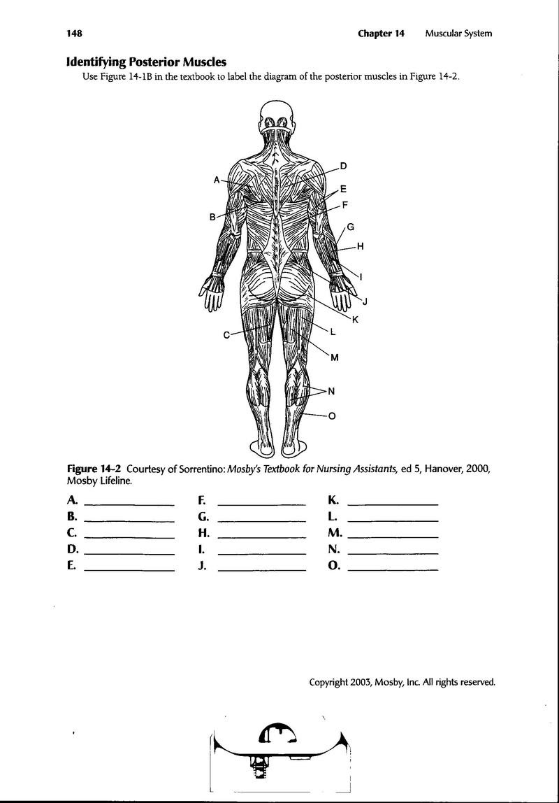 Printable Muscular System Diagram Wiring Diagram