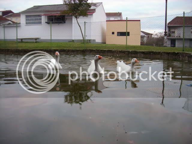 estanque patos