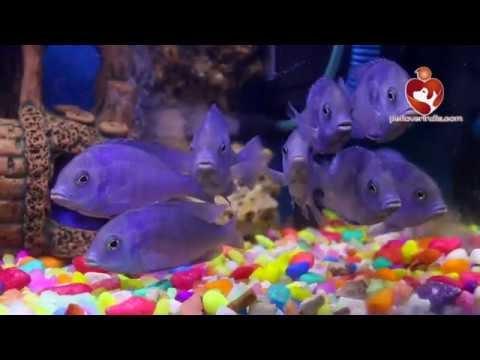 Blue dolfine Fish || petloverindia.com || Fish Paradise.