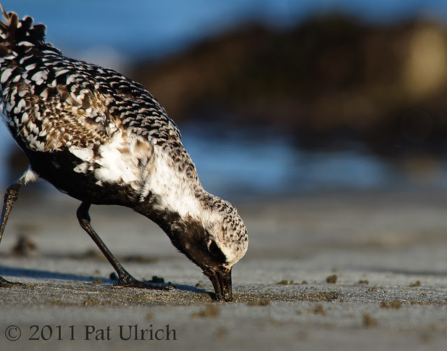 Early plover catches the worm - Pat Ulrich Wildlife Photography