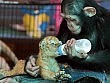 LE IMMAGINI  Amore senza frontiere la scimmia allatta la trigre