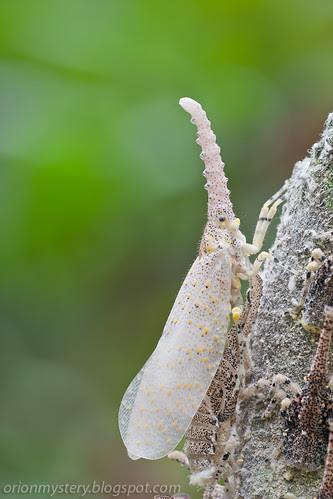 newly emerged adult zanna sp. lantern bug IMG_5544 copy