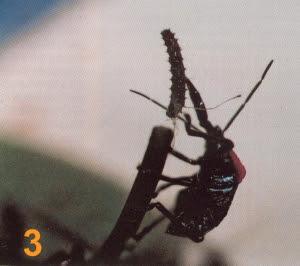 Hemiptera devorando lagartas num pé de maracujá - 03