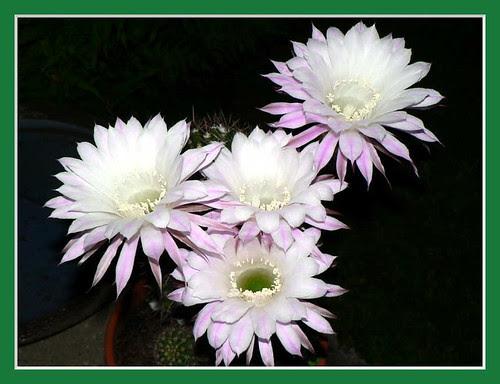 Kaktusblüten_4