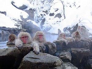 Japanese Macaques (Macaca fuscata). Jigokudani...