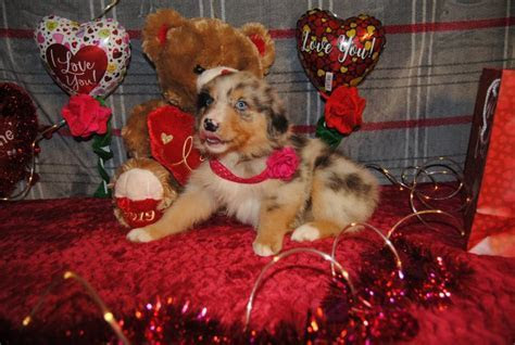 Shamrock Rose Aussies   Welcome to Shamrock Rose Aussies
