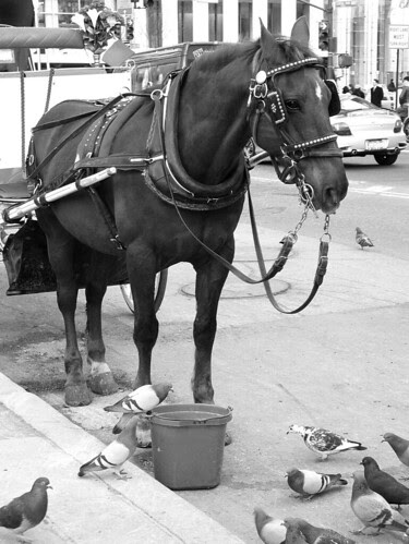 Carriage Horse, NYC