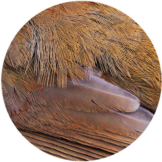Thrush feathers
