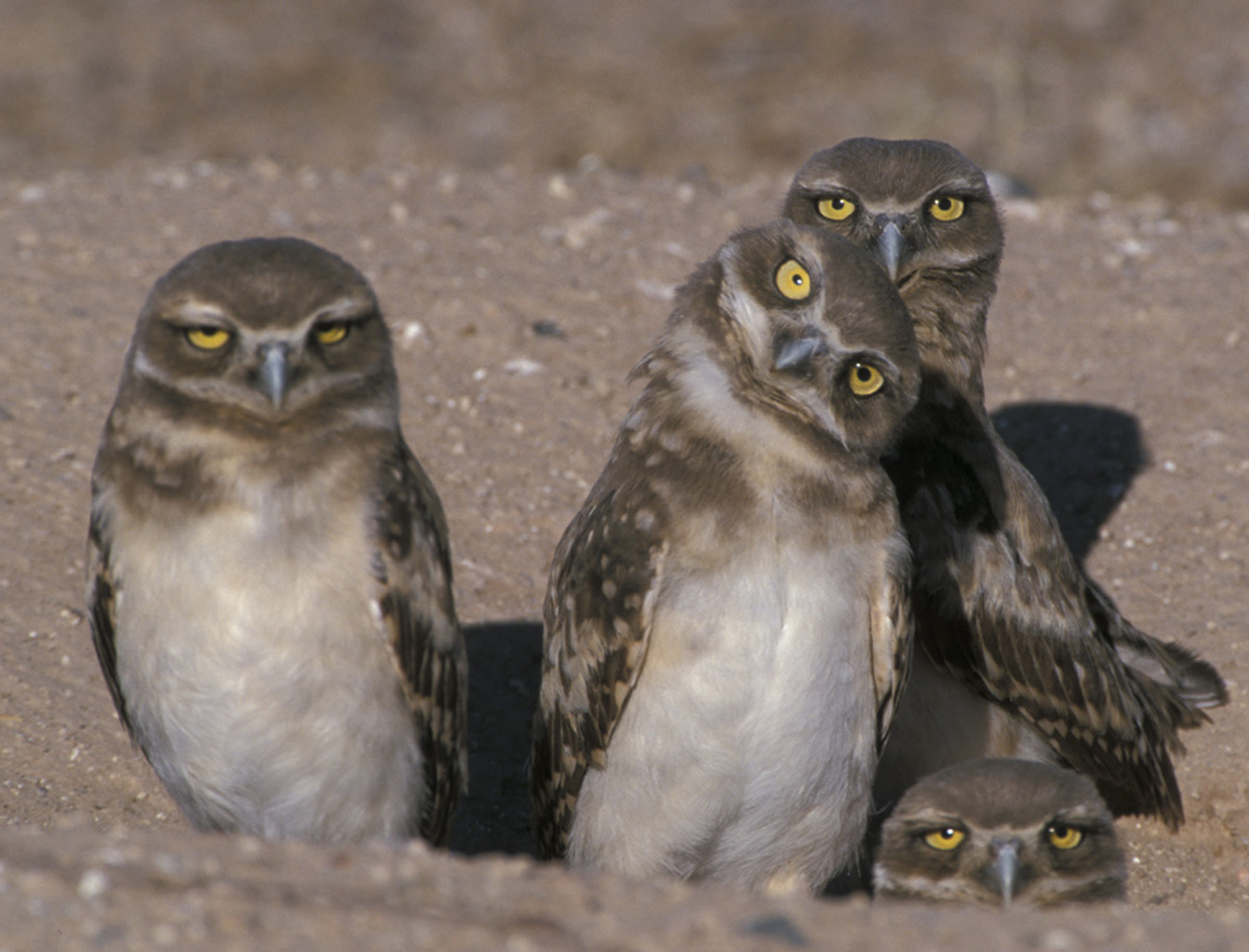 The Owl S Perch Owl Of The Week Burrowing Owl