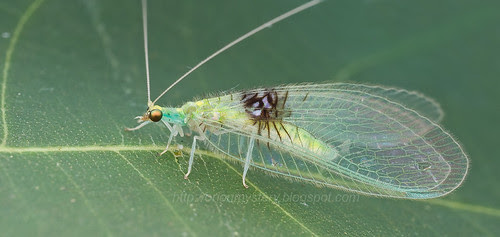 Beautiful lacewing - Semachrysa jade. hock ping guek - IMG_0155 merged copy