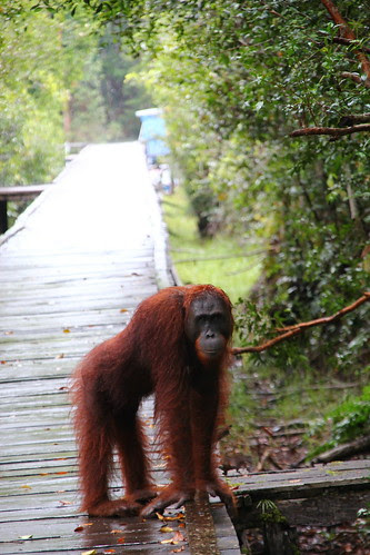 IMG_4151Orangután en semilibertad, Borneo