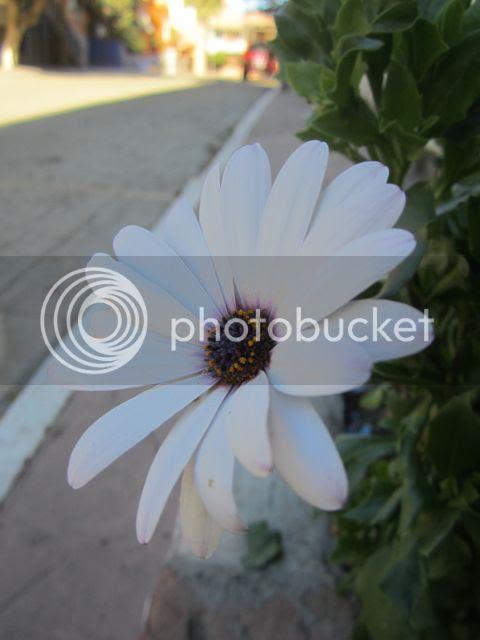 photo flowerPuertoNuevo_zpsa98d6b06.jpg