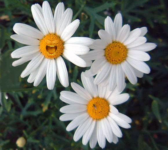 Montauk Daisies: How to Grow a Late-Blooming Standout