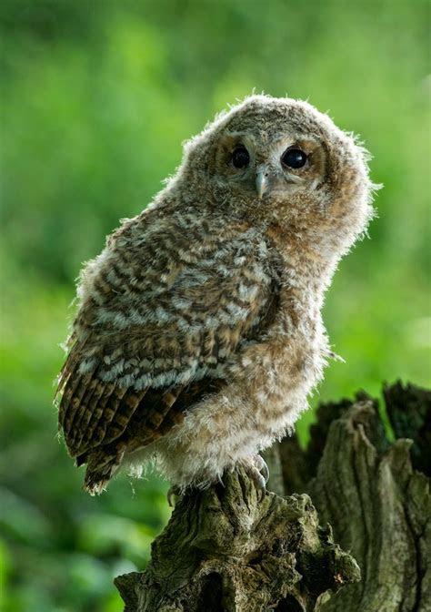 matts  owl chick growth