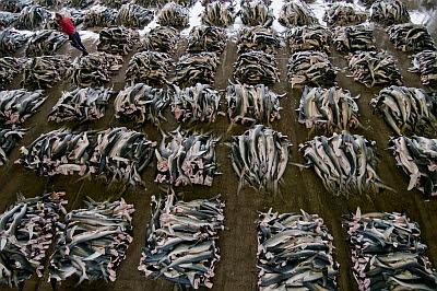 Lonja repleta de tiburones, en Japón.
