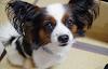 Cuidados del perro de raza Papillòn