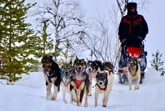 Serge Bapaume et son team de chiens de traineau
