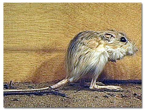 Kangaroo Rats   DesertUSA