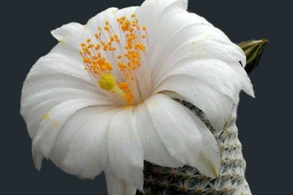 Ανθισμένοι κάκτοι με πολύχρωμα λουλούδια! (pics)