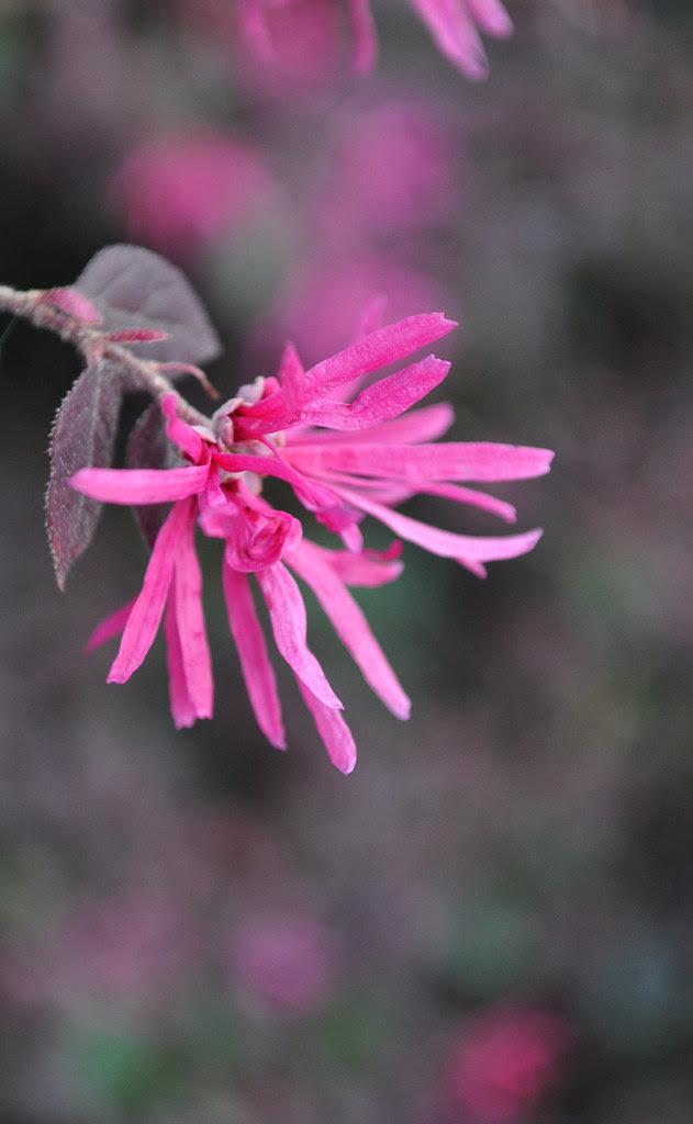 Loropetalum chinensis var. rubrum 'Pizazz' (Pizazz Loropetalum)