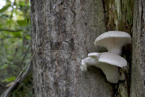 oyster mushroom?