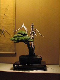 Bonsai con jin