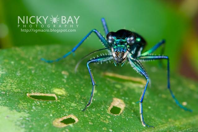 Tiger Beetle (Cicindelinae) - DSC_9490