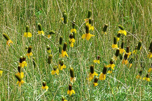 IMG_5649PrairieConeflowers