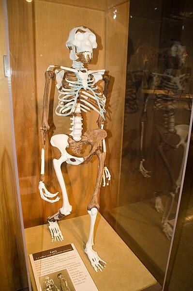 Reconstrucción de Lucy en el Museo de Historia Natura de Cleveland