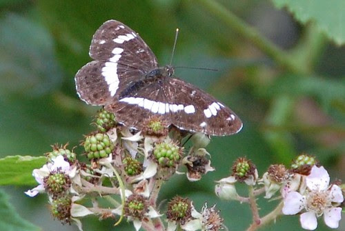 White Admiral at a distance