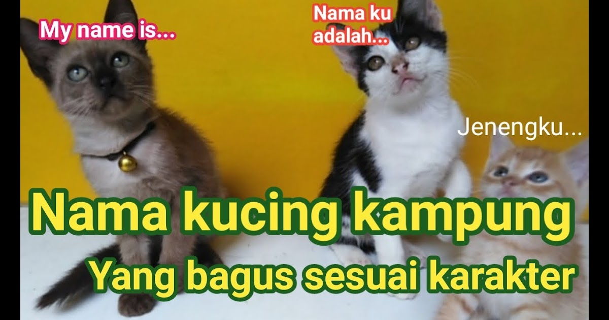 Nama Kucing Betina British Shorthair 81021 Nama Untuk Kucing Comel Lucu Dan Unik