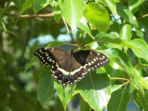unidentified black/white lace butterfly