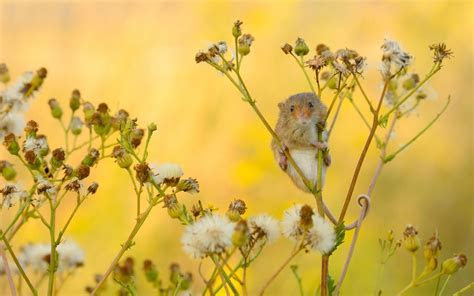 Harvest Mouse wallpaper   2048x1281   162801   WallpaperUP