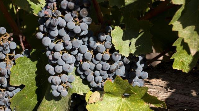 La harina de vino se logra a partir del residuo de la uva