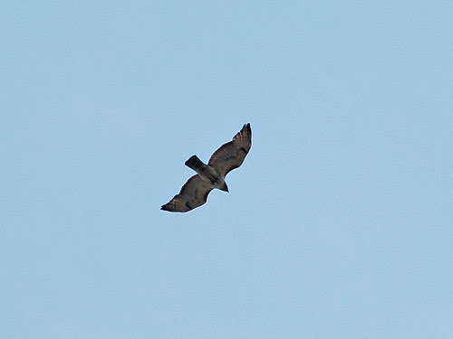 Red-Tail over West 110th